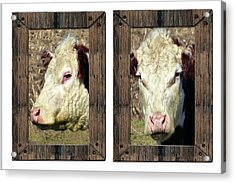 Cow Framed Acrylic Print by Tina M Wenger