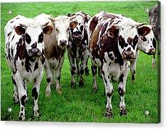 Cow Group Acrylic Print