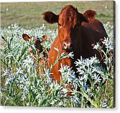 Cow Hide Acrylic Print by Mark Alder