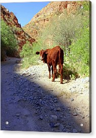 Cow In The Canyon Acrylic Print by Susan Lafleur