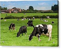 Cow Landscape Acrylic Print by Amanda Elwell