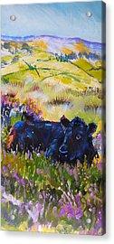 Cow Lying Down Among Plants Acrylic Print
