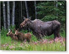 Cow Moose And Twin Calves Acrylic Print