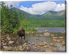 Cow Moose Looking Back At Sandy Stream Pond Acrylic Print by John Burk