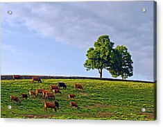 Cow Pasture Acrylic Print by David Freuthal