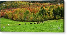 Cow Pasture In Fall Acrylic Print