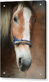 Acrylic Print featuring the photograph Cow Pony by Robin-Lee Vieira