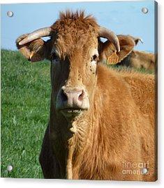 Cow Portrait Acrylic Print by Jean Bernard Roussilhe