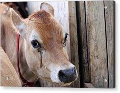 Cow Tear Acrylic Print by Bonnie Brann