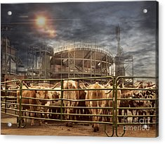 Cow Town Acrylic Print by Juli Scalzi