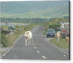 Cow Trot Acrylic Print by Frankie Graham