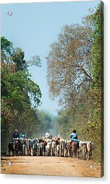 Cowboy Herding Cattle, Pantanal Acrylic Print by Panoramic Images
