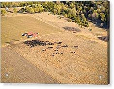 Cows And Trucks Acrylic Print