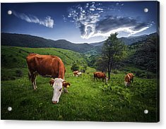 Cows Acrylic Print by Bess Hamiti