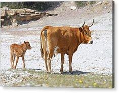 Cows Acrylic Print by Elisa Locci