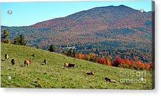 Cows Enjoying Vermont Autumn Acrylic Print by Catherine Sherman