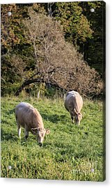Cows Grazing In A Field Etna Nh Acrylic Print by Edward Fielding