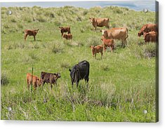 Cows In Field 2 Acrylic Print