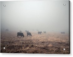 Acrylic Print featuring the photograph Cows In Fog - Color by Alexander Kunz
