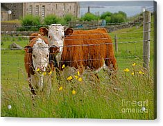 Cows In Iona Acrylic Print by Louise Fahy