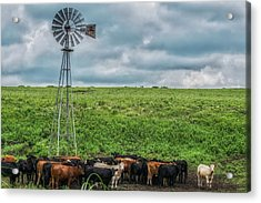 Cows Acrylic Print by Lisa Plymell