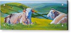 Cows Lying Down In Devon Hills Acrylic Print
