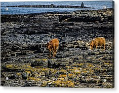 Cows On The Rocks Acrylic Print