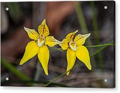 Cowslip Orchid Australia Acrylic Print