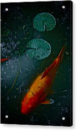 Coy Number One Acrylic Print