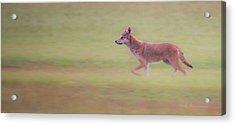 Coyote 0313 Acrylic Print