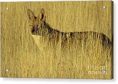 Coyote 4 Acrylic Print