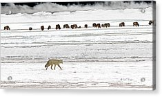 Acrylic Print featuring the digital art Coyote And Bison by Kae Cheatham