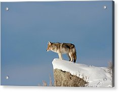 Coyote At Overlook Acrylic Print
