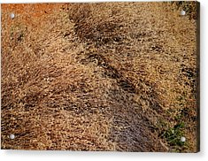 Coyote Brush Acrylic Print