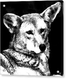 Coyote Charcoal Acrylic Print by Debra     Vatalaro