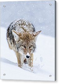 Coyote Coming Through Acrylic Print