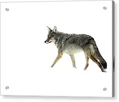 Acrylic Print featuring the photograph Coyote Crossing by Meagan  Visser