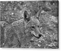 Coyote Distant Gaze Black And White Acrylic Print by Adam Jewell