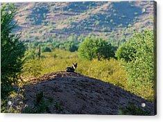 Coyote Hill Acrylic Print