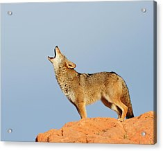 Coyote Howling Acrylic Print by Dennis Hammer