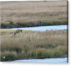 Coyote Hunting In Grass Acrylic Print by Photo by James Keith