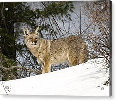 Coyote In Winter Acrylic Print
