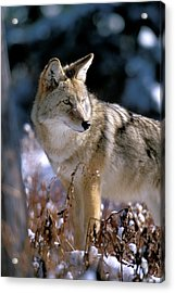 Coyote In Winter Light Acrylic Print
