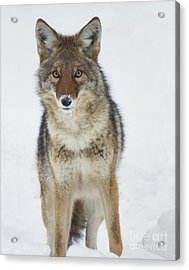 Coyote Looking At Me Acrylic Print by Stanza Widen