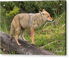 Coyote On A Log Closeup Acrylic Print by Adam Jewell