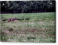 Acrylic Print featuring the photograph Coyote On The Prowl by Bruce Patrick Smith