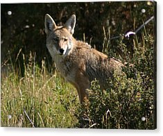 Coyote Resting Acrylic Print by Perspective Imagery