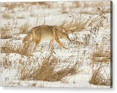 Coyote Stalk Acrylic Print