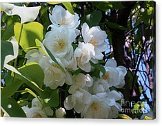 Crab Apple Blossoms 3 Acrylic Print by Marjorie Imbeau