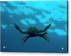 Crab Swimming In The Blue Water Acrylic Print by Sami Sarkis